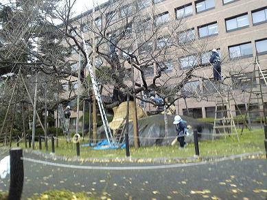石割桜冬囲い.JPG
