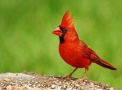 Cardinalx.jpg