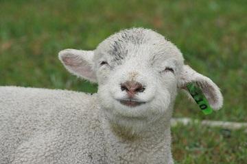 笑う羊.jpg
